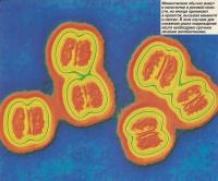 Менингококки иногда проникают в кровоток, вызывая менингит и сепсис