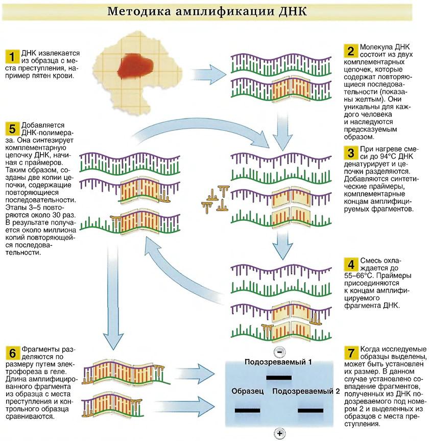 Методика амплификации ДНК