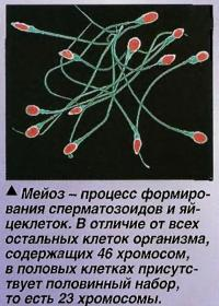 Мейоз - процесс формирования сперматозоидов и яйцеклеток