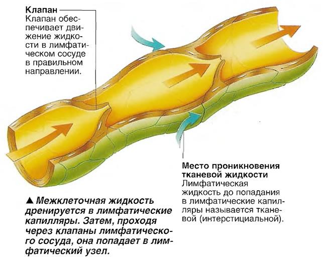 Межклеточная жидкость дренируется в лимфатические капилляры