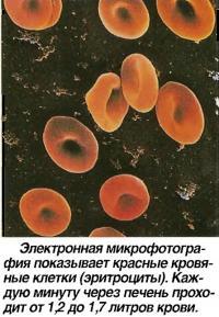 Микрофотография показывает красные кровяные клетки (эритроциты)