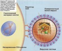 Мишенью ВИЧ являются CD4-лимфоциты