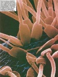 Многочисленные сперматозоиды головками присоединены к яйцеклетке