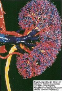 Модель нормальной почки показывает сложные капиллярные сети внутри органа