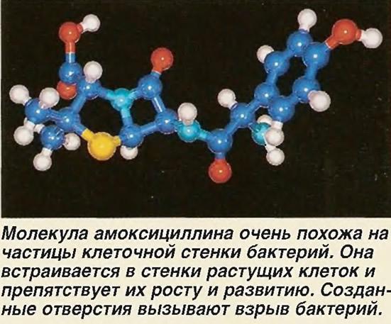 Молекула амоксициллина очень похожа на частицы клеточной стенки бактерий