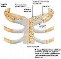 Мощная фиброзная капсула вместе с прочными окружающими связками удерживает грудино-ключичный сустав