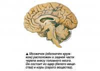 Мозжечок расположен в задней части черепа внизу головного мозга