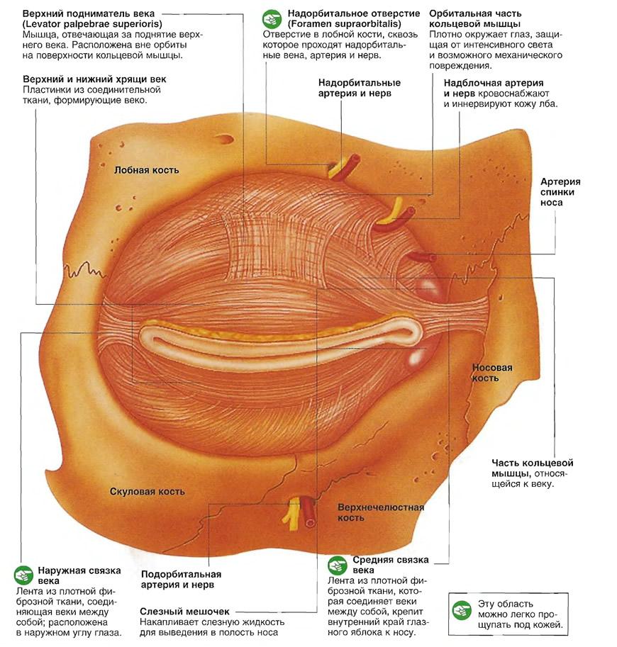 Мышцы вокруг глаз