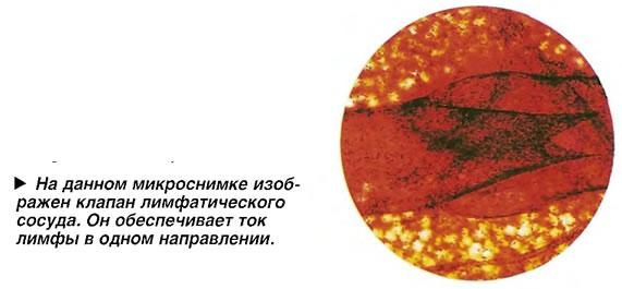 На данном микроснимке изображен клапан лимфатического сосуда