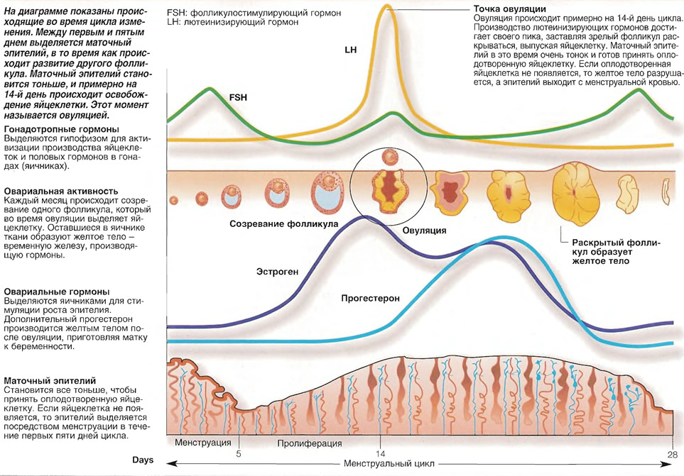 На диаграмме показаны происходящие во время цикла изменения