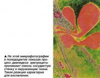 На этой микрофотографии в псевдоцветах показан процесс диапедеза
