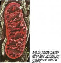 На этой микрофотографии видна окрашенная розовым митохондрия