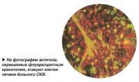 На фотографии антитела атакуют клетки печени больного СКВ