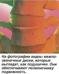 На фотографии видны межпозвоночные диски, которые выглядят как подушечки