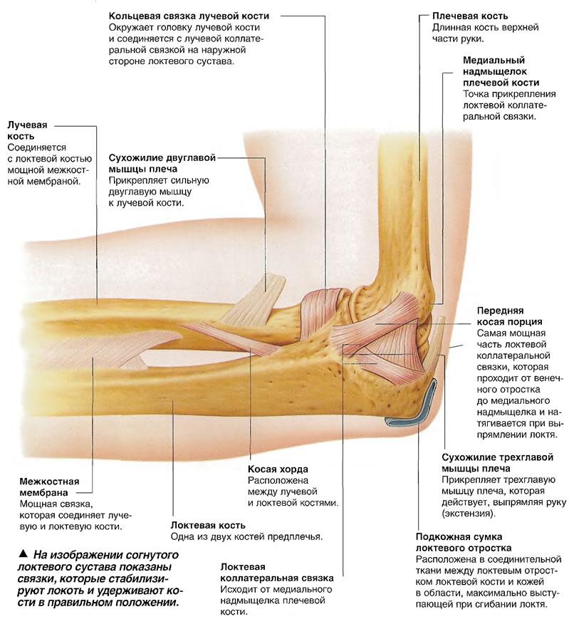 На изображении согнутого локтевого сустава показаны связки