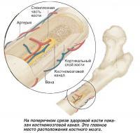 На поперечном срезе здоровой кости показан костномозговой канал