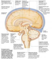 На разрезе мозга и ствола мозга показана схема циркуляции СМЖ