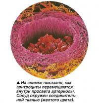 На снимке показано, как эритроциты перемещаются внутри просвета артериолы