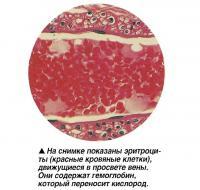 На снимке показаны эритроциты, движущиеся в просвете вены