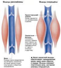 Насос скелетной мышцы обеспечивает передвижение крови через вены обратно в сердце