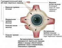 Нервы и мышцы обеспечивают движение глаза в направлениях, показанных стрелками