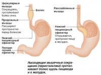 Нисходящие мышечные сокращения проталкивают болюс вдоль пищевода и в желудок