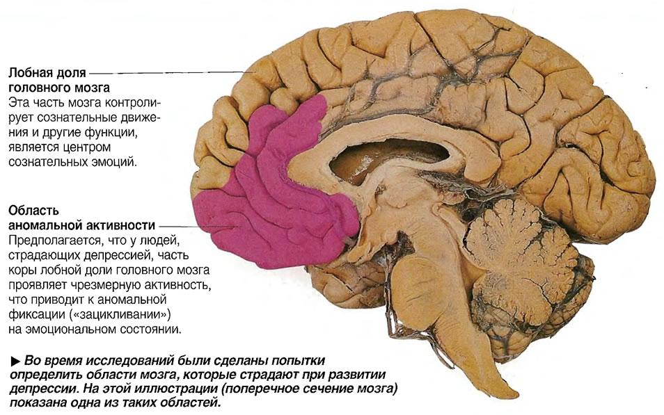 Область мозга, которая страдает при развитии депрессии