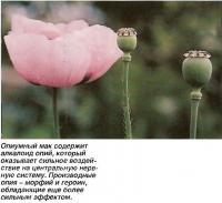 Опиумный мак содержит алкалоид опий