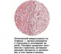 Оптический микроснимок гипофиза