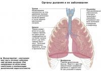 Органы дыхания и их заболевания