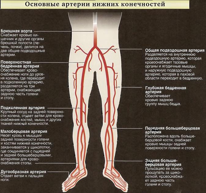 Основные артерии нижних конечностей