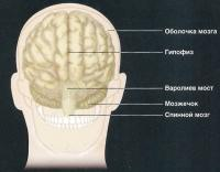 Основные части мозга (вид с затылка)