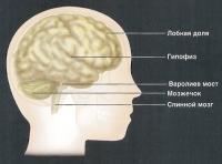 Основные части мозга