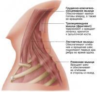 Основные мышцы, обеспечивающие удержание и сгибание головы и шеи