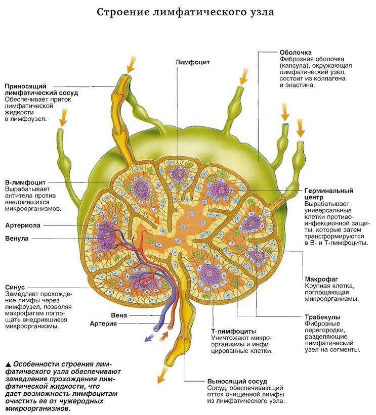 Особенности строения лимфатического узла обеспечивают замедление прохождения лимфатической жидкости