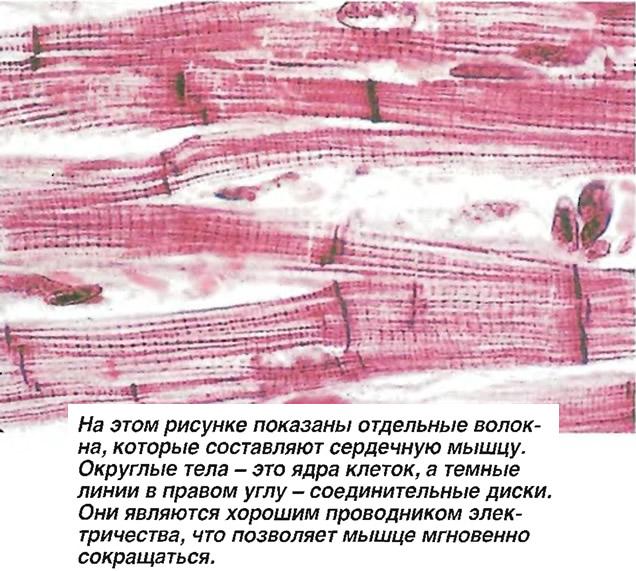 Отдельные волокна, которые составляют сердечную мышцу