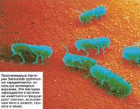 Палочковидные бактерии Salmonella typhimurium