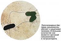 Палочковидные бактерии сальмонеллы обитают в кишечнике человека