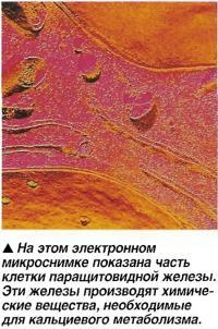 Паращитовидная железа