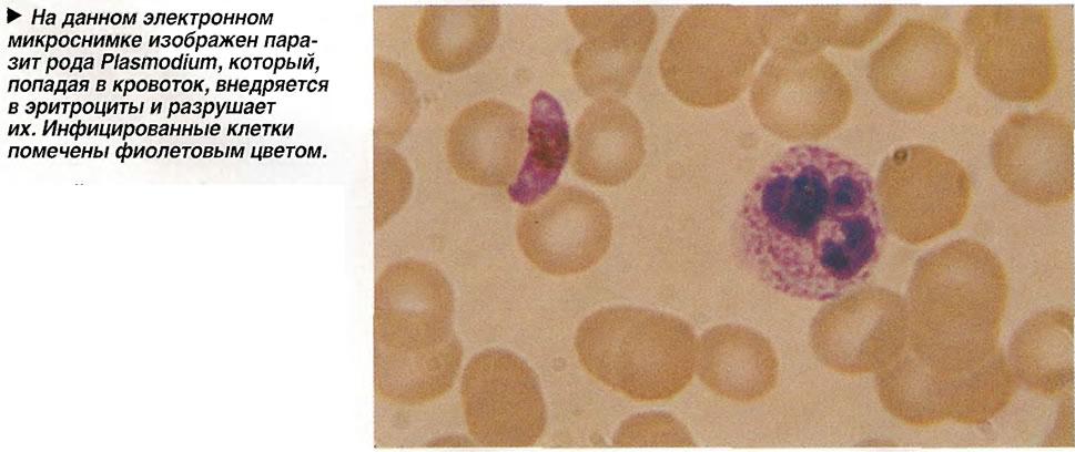 Паразит рода Plasmodium
