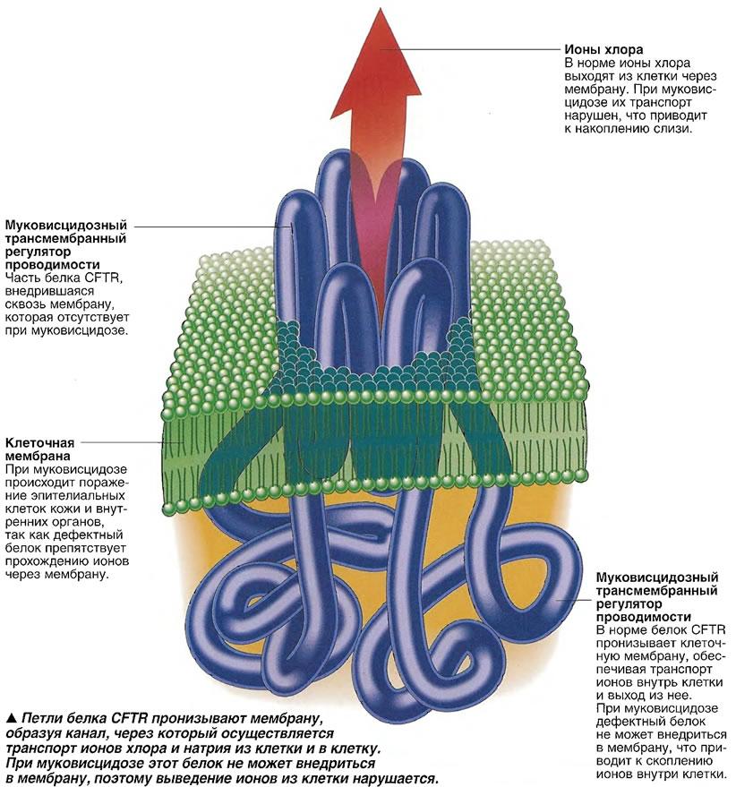 Петли белка CFTR пронизывают мембрану, образуя канал, через который осуществляется транспорт ионов