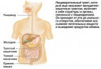 Пищеварительный тракт, который еще называют желудочно-кишечным трактом