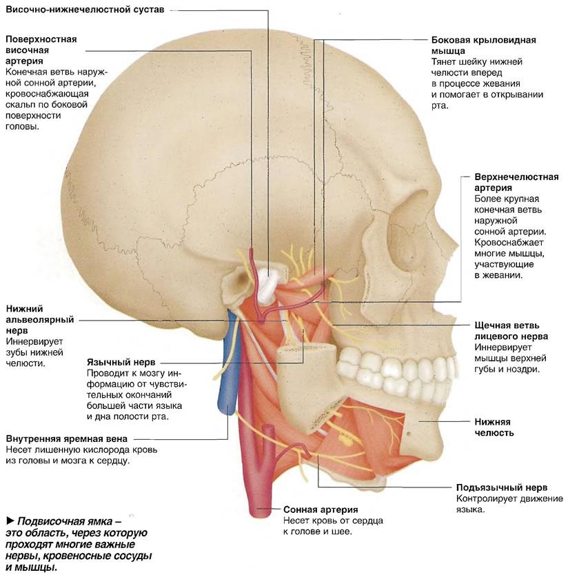 Подвисочная ямка - область, через которую проходят многие важные нервы, кровеносные сосуды и мышцы