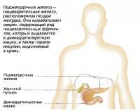 Поджелудочная железа - пищеварительная железа, расположенная позади желудка