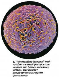 Полиморфно-ядерный ней-трофил - самый распространенный тип белых кровяных клеток