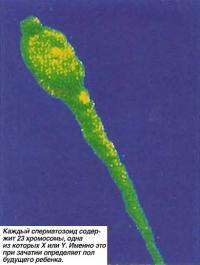 Половые клетки