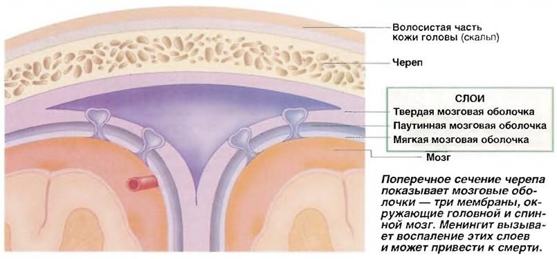 Поперечное сечение черепа показывает мозговые оболочки