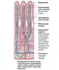 Поперечное сечение слизистой оболочки, проходящее через стенку тонкого кишечника