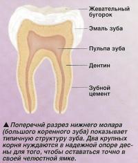 Поперечнй разрез нижнего молара (большого коренного зуба)