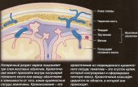 Поперечный разрез черепа показывает три слоя мозговых оболочек
